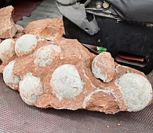 A total of 43 dinosaur eggs, 19 of which were unbroken, were found during the roadworks in Heyuan, south-east China
