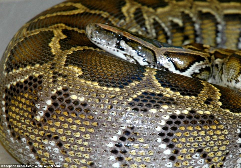 Python Swallows Alligator Whole