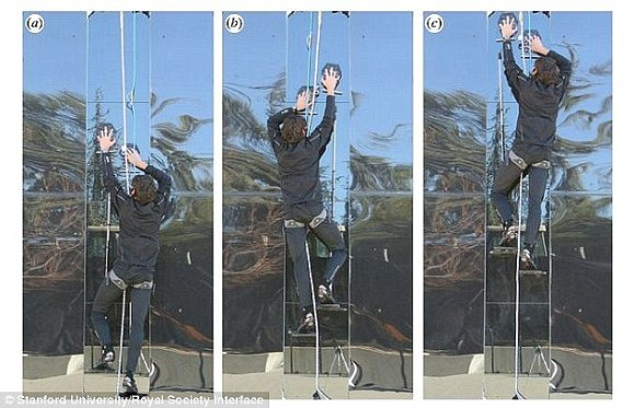 During tests, an 11-stone (70kg) volunteer crawled up a 12ft (3.6 metre) pane using sticky attachments on his hands and feet. The gloves use the same molecular forces that allow gecko lizards to walk on ceilings - hairs that create an electrostatic force known as Van der Waals