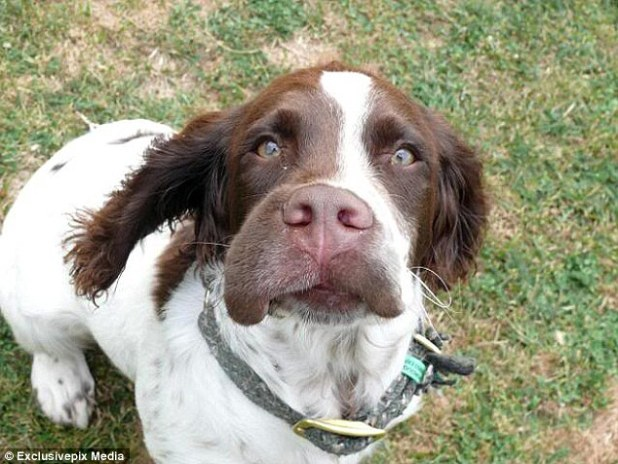 This Springer spaniel met another stinger while enjoying a walk in the countryside. But the embarrassment in his eyes suggests he won't be showing his face for a while