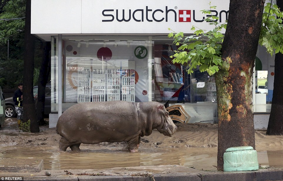 A hippopotamus wades through the filthy street in Tbilisi as helicopters circle the city to track down all of the escaped beasts