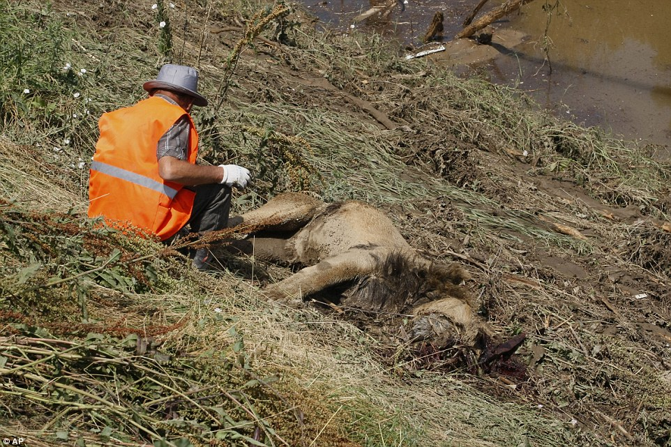 A rescue worker tends to the body of a lion near to a flooded area of the zoo in Tbilisi after a deluge of heavy rain and wind overnight