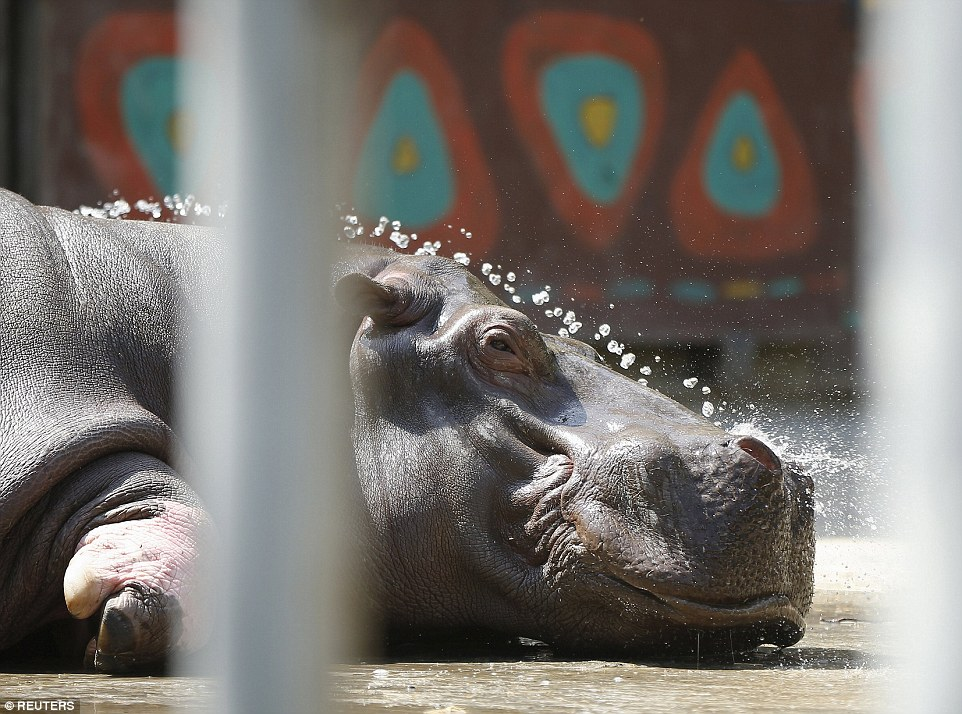 There was some welcome news today as the hippopotamus that was cornered and shot with a tranquilizer gun was safe and well