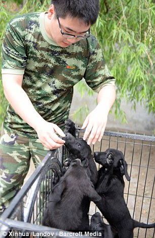 Puppy love: Another takes care of the black labrador puppies