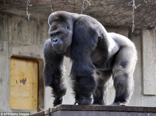 Shabani the gorilla, who grew up in an Australian zoo, has become a heartthrob among women in Japan