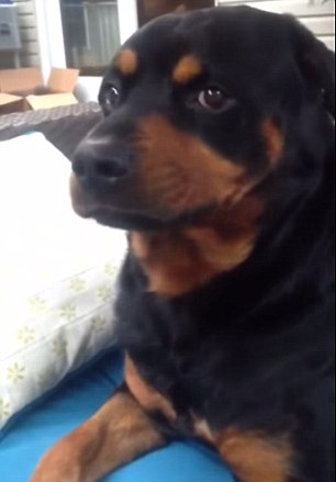 Cute Rottweiler Turns Vicious On Command In Hilarious Video Daily Mail Online