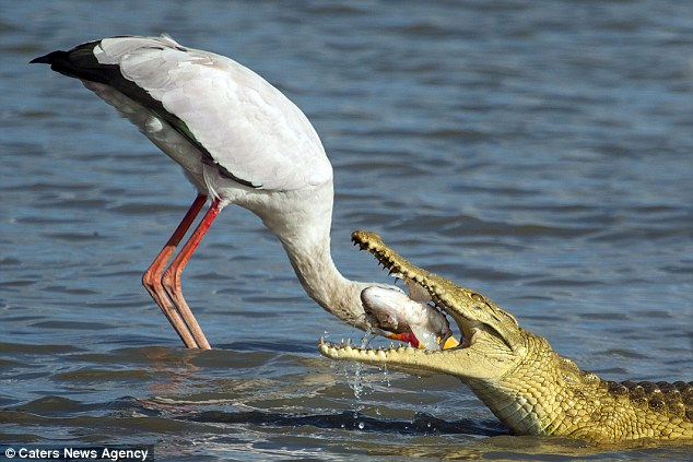 This is the hilarious moment a stork appeared to get its head stuck in the jaws of a hungry crocodile while fishing on a lakein the Selous Game Reserve in Tanzania