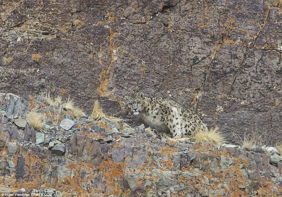 The snow leopard, pictured, is rarely ever photographed because of its life in some of the most remote areas of the world