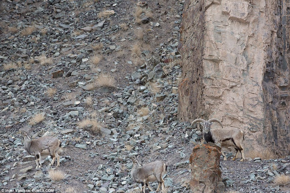 In this photo, a snow leopard stalks a group of bharal blue sheep from an well camouflaged position. Scroll down to see it revealed