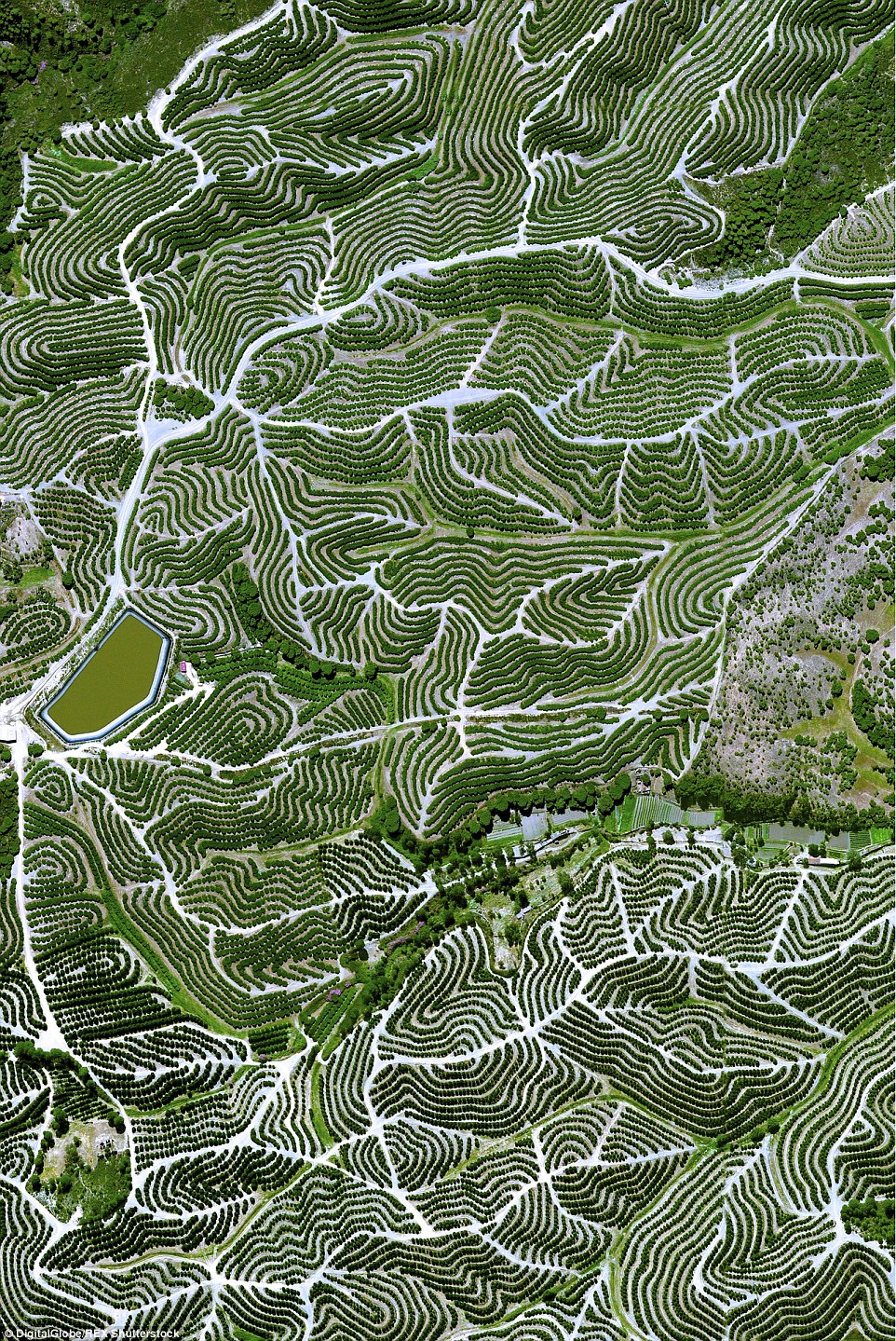 At the Huelva Orchard in Spain, fruit trees create a swirl-like pattern on the hills in the ideal temperate climate