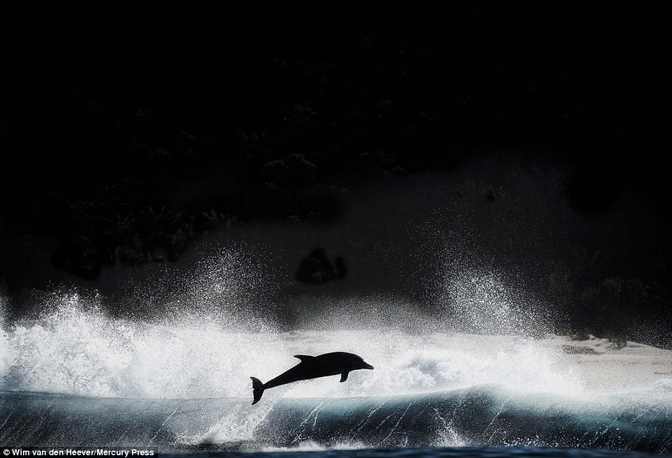 Wim captures an amazing image of a dolphin silhouetted against a rough sea
