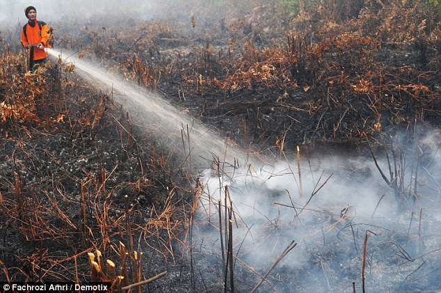 Helping hand: A volunteer firefighter attempts to dowse the flames after many of the fires were deliberately started by farmers using the slash-and-burn method to clear land