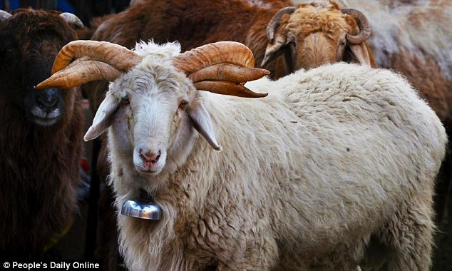 Ram With SIX Horns Spotted On A Chinese Farm In Xinjiang