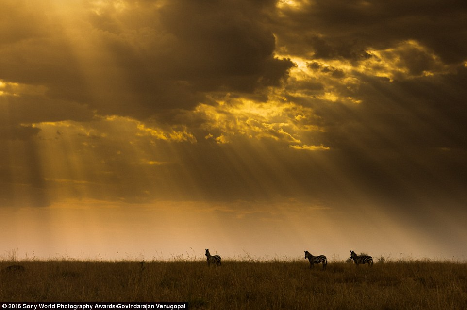 Govindarajan Venugopal from India submitted his image of zebras stood in a field during sunrise with rays seeping through the clouds