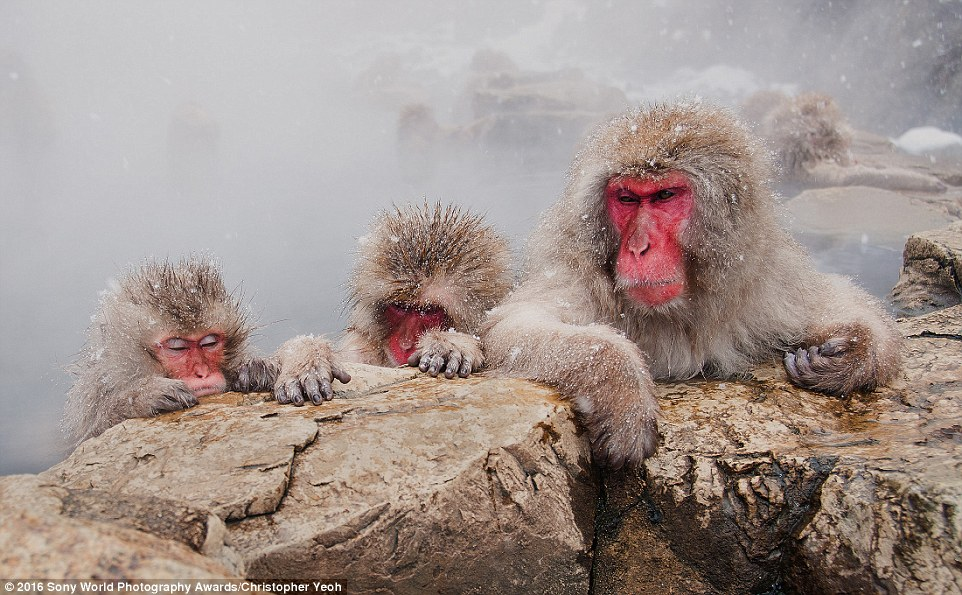 These monkeys were caught having a soak in a hot spring during a light snow flurry in Japan by photographerChristopher Yeoh, Australia