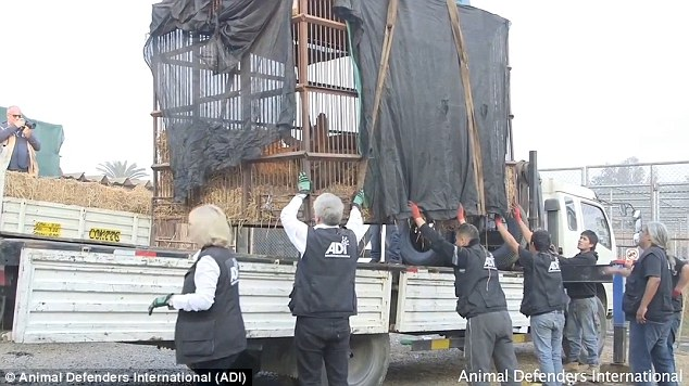 In order to set Musafa free, wildlife officials and Animal Defenders International (ADI) staged a dramatic intervention