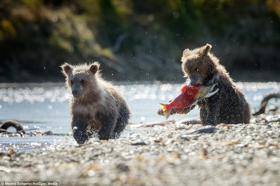 Image result for bear and salmon