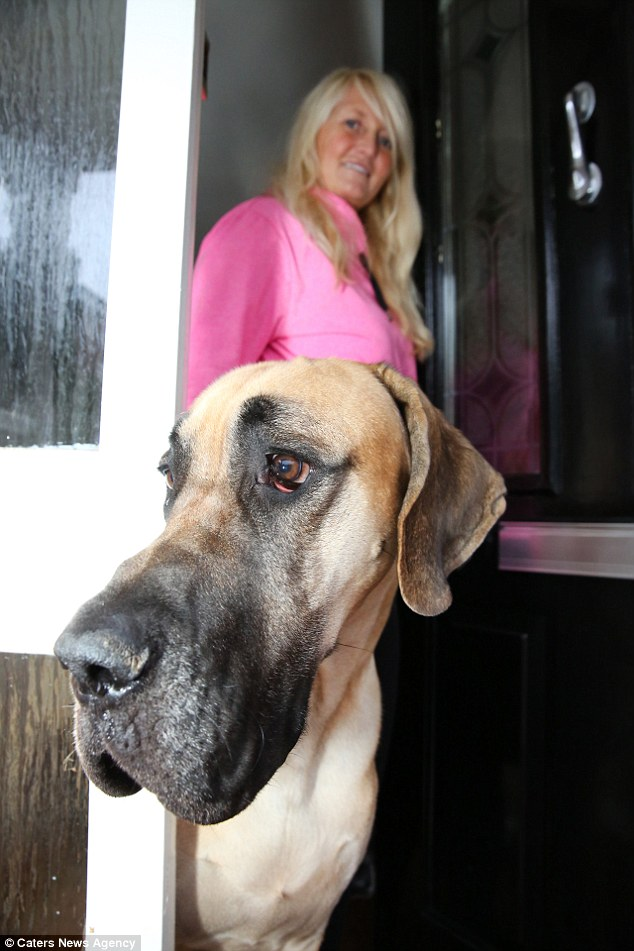 Mrs Barrett has put Presley on show at Crufts as a top example of the Great Dane breed, but she says its his kindly nature which is what always wins people over