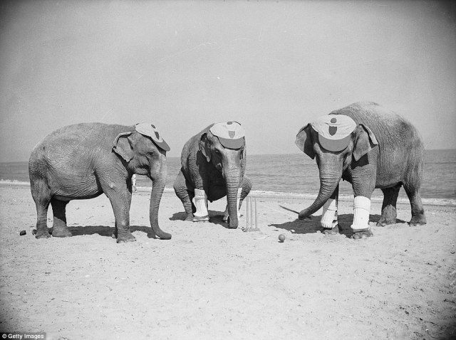 Three Powers elephants astound the holidaymakers at Skegness by playing a game of cricket in 1936