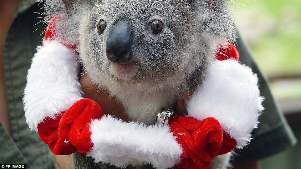 Koala Joey Bon Bon Has A Merry Time On His Christmas