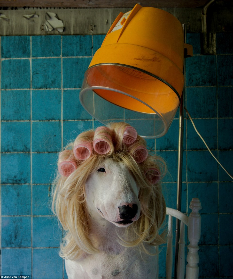 Looking fabulous: the smiling pooch poses in rollers and a blonde wig beneath a hair dryer in an old farmhouse in the Netherlands