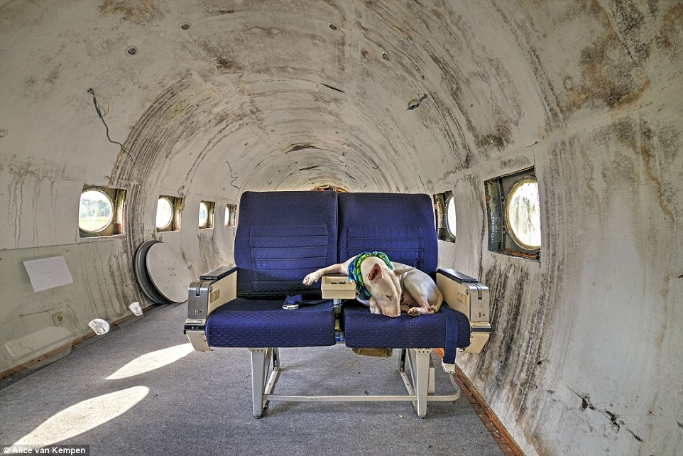 The three-year-old bull terrier travels the world with Dutch photographer Alice van Kempen (pictured: abandoned plane in Belgium)