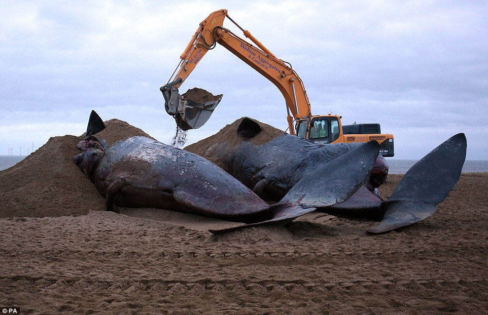 East Lindsey District Council Council workers began covering up the whales' bodies with sand to stop them being moved by the high tide and a spokesman confirmed they will then be taken to a landfill site