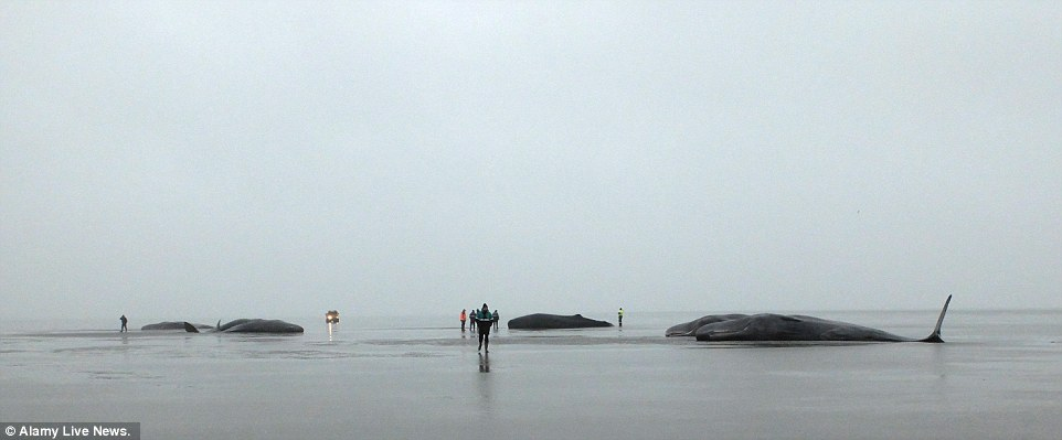 Sombre: Eight sperm whales were washed up on this beach near the northern town of Friedrichskoog in Germany