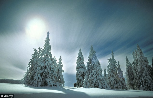 Experts say Forest changes have nudged Europe's summer temperatures up by 0.12 degree Celsius (0.2 Fahrenheit) since 1750, largely because many nations have planted conifers such as pines and spruce (pictured) whose dark colour traps the sun's heat.