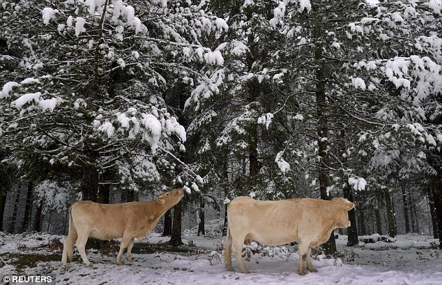 Cows eat pine needles in a snow covered forest in the Basque mountain port of Opakoa, northern Spain, in this November 23, 2015 file photo. An expansion of Europe's forests towards dark green conifers has stoked global warming, according to a study on February 4, 2016, at odds with a widespread view that planting more trees helps human efforts to slow rising temperatures.