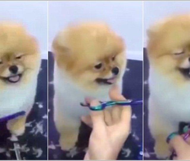 Adorable Pomeranian Enjoys Spa Day With A New Haircut Daily Mail Online