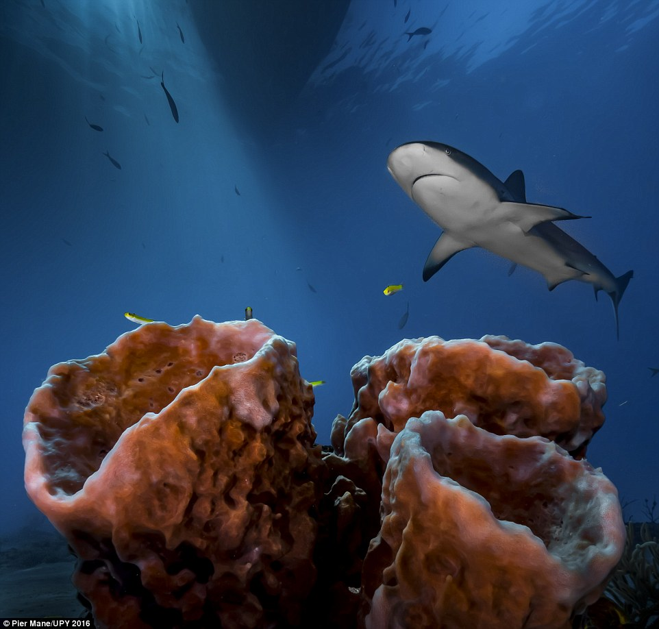 South African photographer Pier Mane took this image after deciding to 'turn away from the action'. He said: 'Weary of shooting sharks head-on, and keen to avoid bubbles in my shot, I decided to turn away from the peak action and the crowds it attracts. I wanted sun rays, dramatic foreground, background perspective, and - the cherry on top - to capture the 'master of the house' in all of its mystique. The three sponges were well-positioned to set the scene beneath the boat and it took countless shots to balance the elements I wanted, but perseverance, patience and practice all paid off'