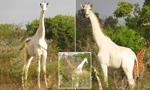 Rare Albino Giraffe With No Markings On Its Hide Is
