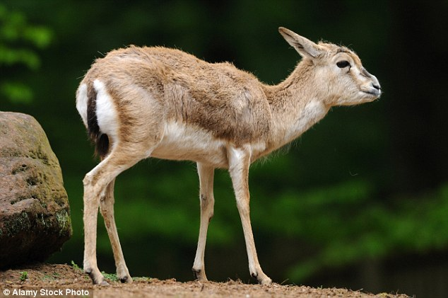 The goitered gazelle inhabits large areas of Asia from Iraq and Iran as far north as Afghanistan and Mongolia. It has become an endangered species in Pakistan