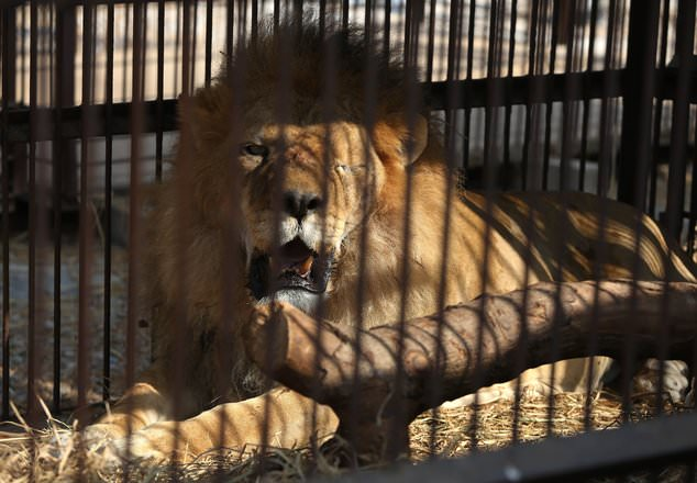 One of the former circus lions, above, who's missing an eye. Both of the slain lions were said by Animal Defenders International to have suffered brain damage from blows sustained during their time in circuses
