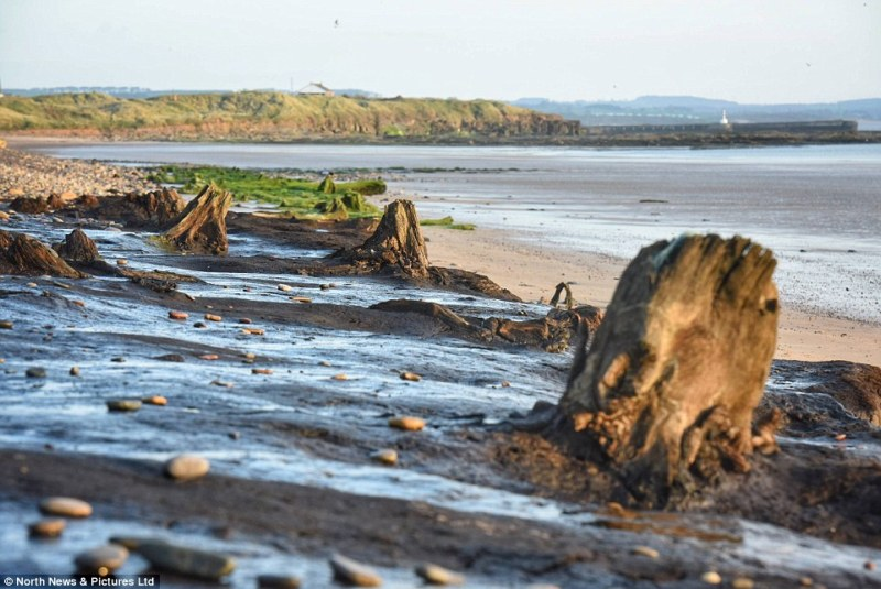 But in addition to tree stumps, archaeologists say they have uncovered animal footprints, highlighting the diverse wildlife which would have roamed the ancient Doggerland forest, including red deer, wild boar and brown bears