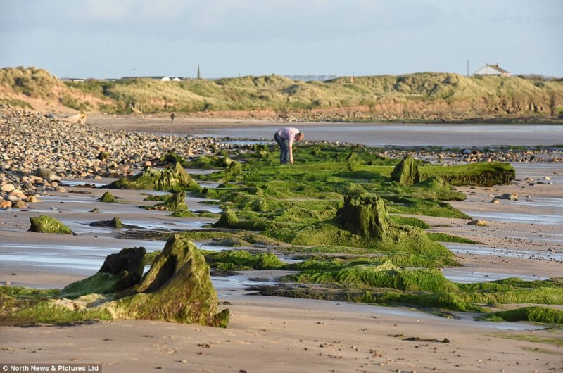 The North Sea has eroded the shore of a Northumberland beach to reveal the remnants of an ancient forest dating back 7,000 years. Archaeologists believe the preserved tree stumps and felled tree trunks lining the shoreline.  Forests would have covered the area once known as 'Doggerland' - an area of land stretching between England and Europe which existed before the North Sea was formed by glacial melt water and geological  movements.  SEE STORY AND VIDEO BY NORTH NEWS