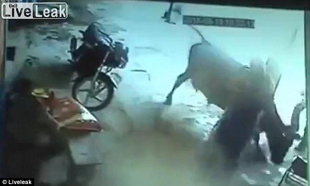 La vaca se acerca y trata de salvar a la joven después de ser atacada en Gwalior, India