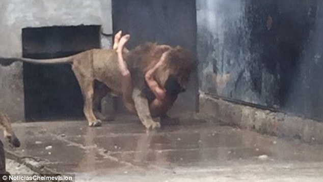 Injured: The only way to save his life was to put down the two lions which were attacking Mr Ferrada, who is now recovering in hospital with serious wounds to his face, skull, neck, shoulders and groin