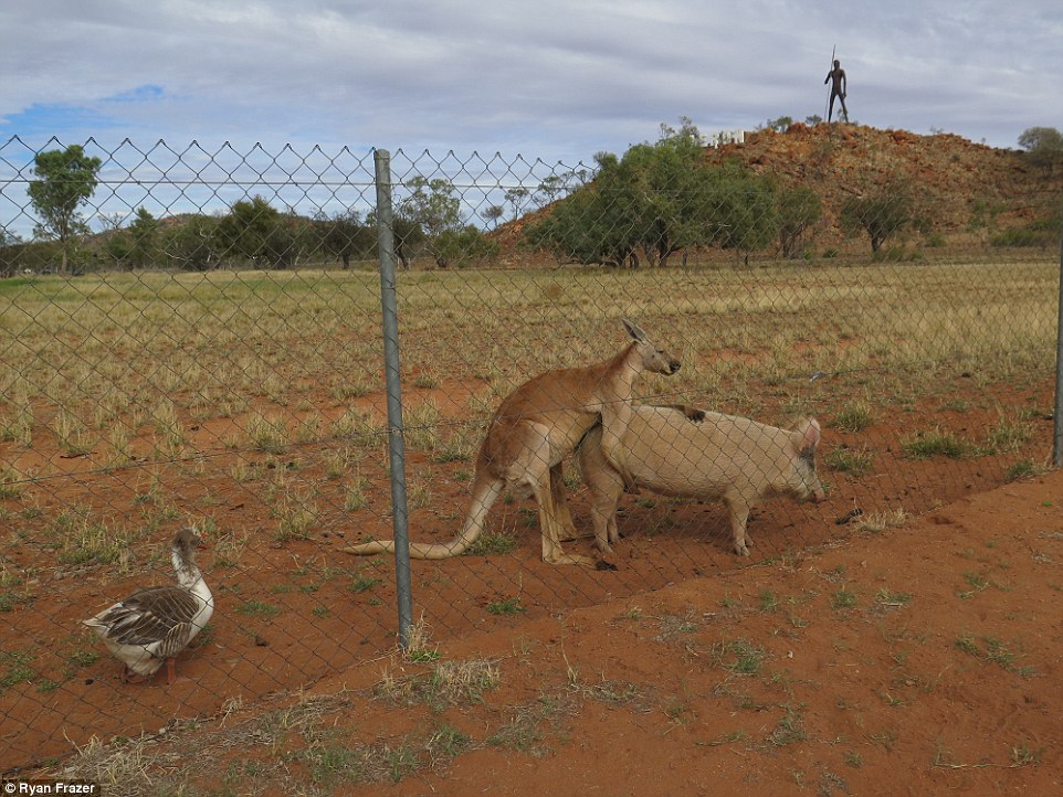 A Sydney student photographed a kangaroo and a pig getting intimate while on a research trip to the Northern Territory