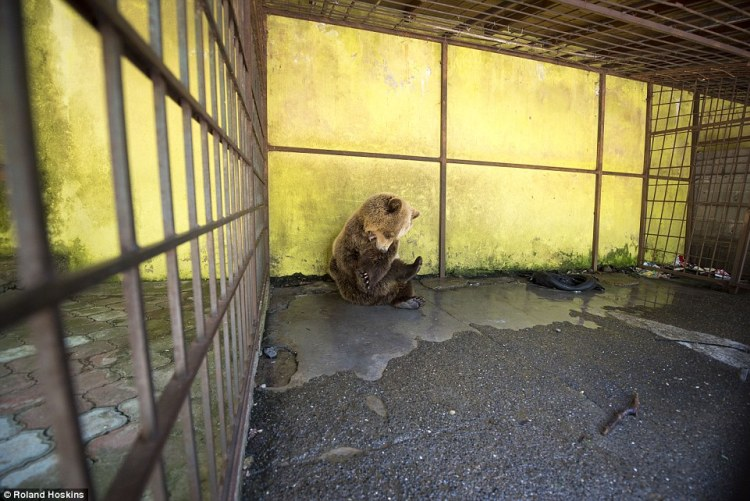 Sometimes he paces around his cage intensely, and then goes into what appears to be a self-harming spasm – biting his limbs while shaking his head violently
