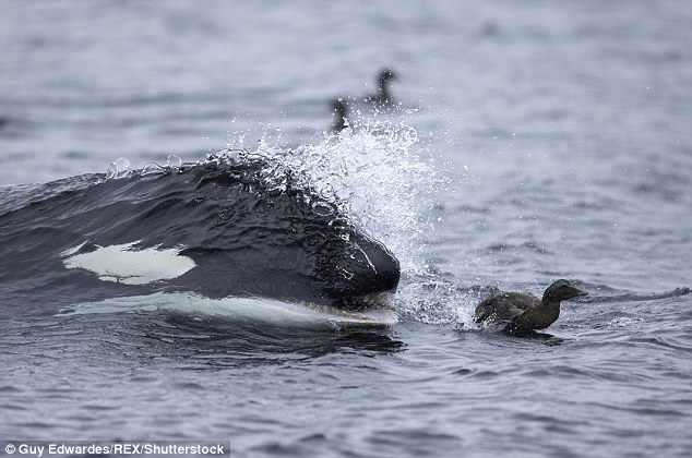 Jaws of death: The inevitable is moments away as the orca appears in a riot of spray, baring its deadly teeth