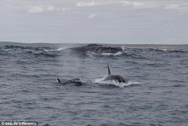 Mr Wheeler said the lead orca would strike the mother humpback and separate her from her newborn calf
