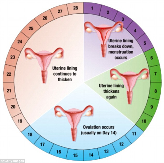 Image result for menstruation cycle