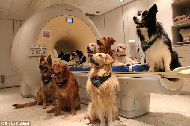 Trained dogs around the fMRI scanner used in the study:Dogs, like people, use the left hemisphere to process words, and the right hemisphere brain region to process intonation, according to the new study in Science.