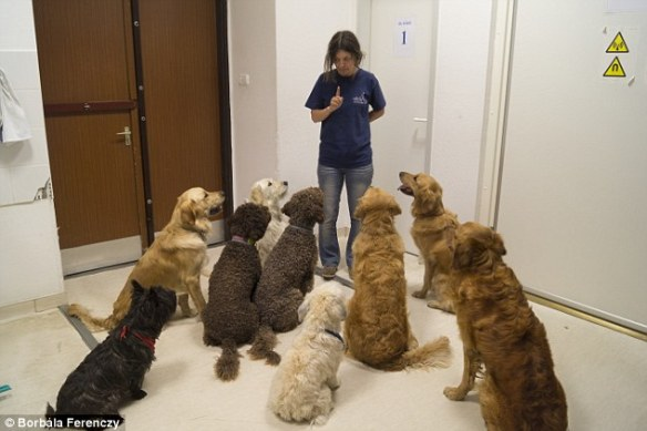 Dogs are listening to their trainer, Márta Gácsi during the training process for the experiment