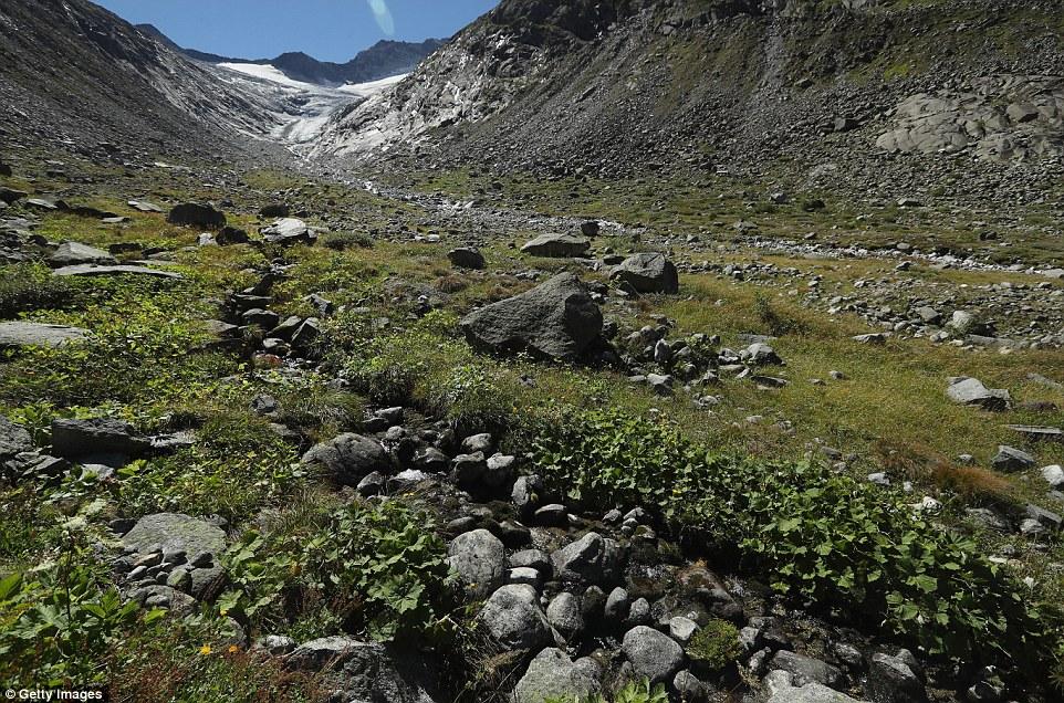 Vegetazione cresce nel bacino roccioso esposto dal retrocedere Hornkees ghiacciaio vicino Ginzling Austria.  E una volta riempito il bacino di ghiaccio di almeno 100 piedi (30m) di profondità.  L'anno scorso si allontanava più di ogni altro ghiacciaio in Austria