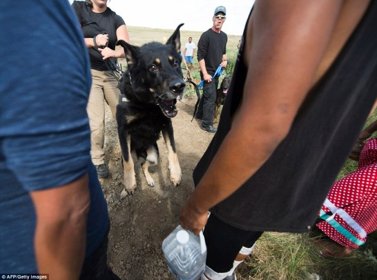 A guard dog handled by a private security guard lunges toward protestors during a demonstration by hundreds of Native American protestors and their supporters