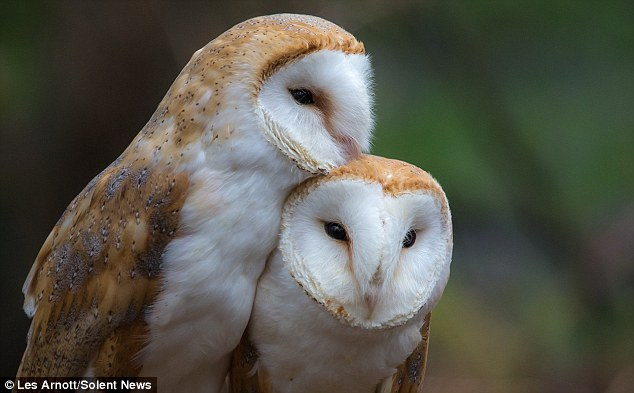 Sisterly Display Of Affection As Barn Owls Are Caught On