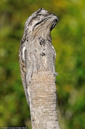 Bird perfectly blends itself in with a tree trunk   Daily Mail Online The potoo proves it is a master of disguise in the